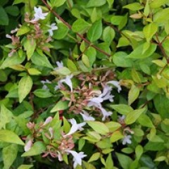 ABELIA x grandiflora Gold spot 15/20 C2