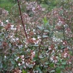 ABELIA x grandiflora 100/120 C15
