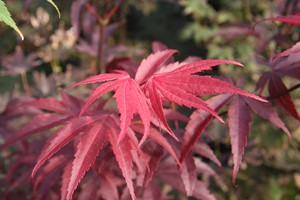 ACER palmatum Blood Good 100/120 C7