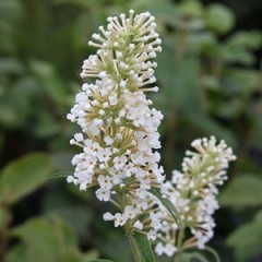 BUDDLEJA White bouquet  40/50 C3