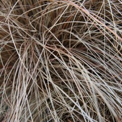 CAREX Frosted Curl  C2
