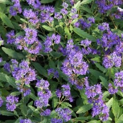 CARYOPTERIS clandonensis Grand Bleu 40/60 C4