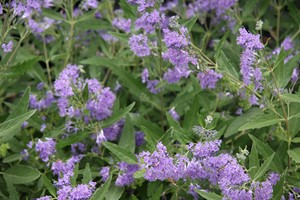 CARYOPTERIS clandonensis Heavenly Blue 40/60 C3