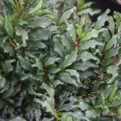 EURYA japonica moutier 30/40 C4