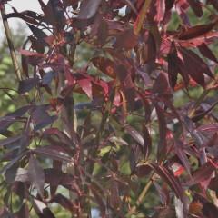 FRAXINUS angustifolia raywwood TIGE10/12 RN