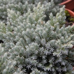 JUNIPERUS Blue Star 20/30 C4