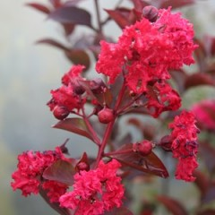 LAGERSTROEMIA indica Dynamite 120/150 C12