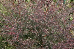 LEPTOSPERMUM Coppersheen  60/80 C4