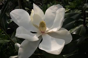 MAGNOLIA grandiflora Galissionensis  100/120 C12