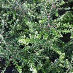 PHYLICA  arborea 40/50 C4