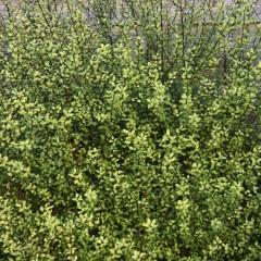 PITTOSPORUM tenuifolium Donovan Gold 100/120 C15