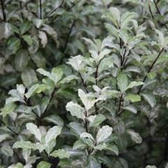 PITTOSPORUM tenuifolium Irene Patterson 100/120 C15