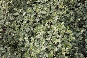 PITTOSPORUM tenuifolium Victoria 50/60 C4