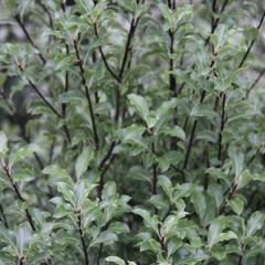 PITTOSPORUM tenuifolium 100/120 C15
