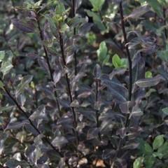PITTOSPORUM tenuifolium Purpureum 120/150 C30