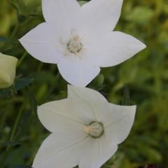PLATYCODON cotiledon alba  C2