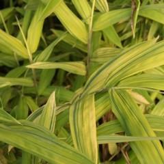 PLEIOBLASTUS auricoma viridistriatus 60/80 C5