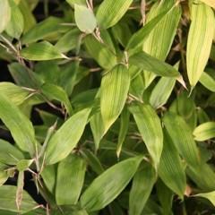 SHIBATEA kumasasa 50/60 C5