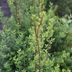 TEPUALIA stipularis 60/80 C7
