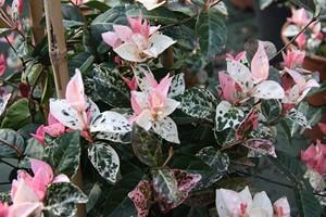 TRACHELOSPERMUM asiaticum Tricolor 40/60 C4
