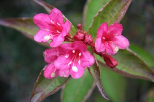 WEIGELIA Bristol Ruby  40/50 C3