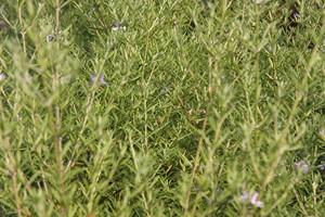 WESTRINGIA fructicosa 40/60 C3