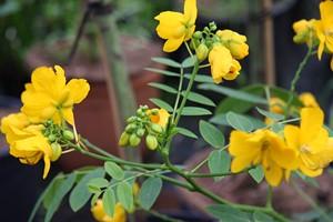 CASSIA floribunda 40/60 C3
