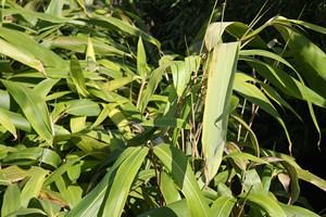 INDOCALAMUS tesselatus 30/40 C5