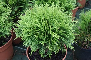 THUJA occidentalis Danica 30/40 C7