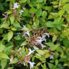 ABELIA x grandiflora Gold spot  C4 20/30