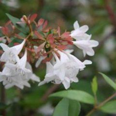 ABELIA x grandiflora   C25 100/125