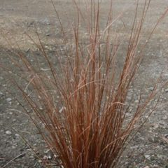 CAREX buchananii   Gdt9