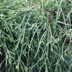 CHAMAECYPARIS pisifera Sungold C4 30/40