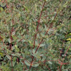 EUCALYPTUS Parviflora  C10 100/150