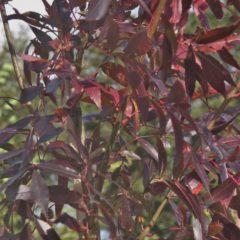 FRAXINUS angustifolia raywood Rn Tige 8/10