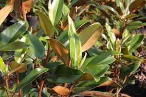 MAGNOLIA grandiflora Alta  C25 1/2Tige 6/8