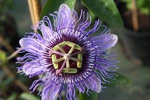 PASSIFLORA caerulea Purple Passion C4 125/150