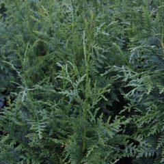 THUJA plicata Gederland  C4 80/100