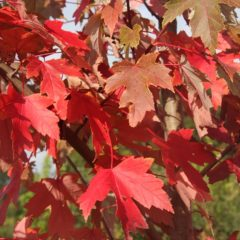 ACER rubrum Fairview Flame Rn Tige 6/8