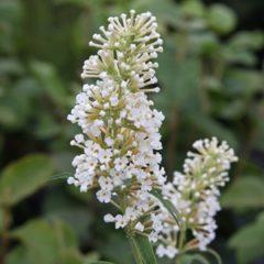 BUDDLEJA davidii White bouquet C3 30/50