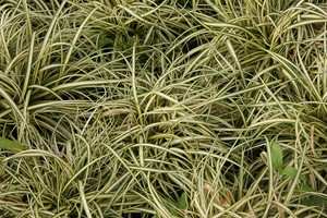 CAREX oshimensis Ever gold  C1