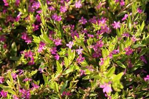 CUPHEA hyssopifolia Magenta C3