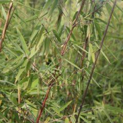 FARGESIA Jiuzhaigou Red Panda   C5 60/80