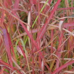MISCANTHUS sinensis Purpurescens  C2