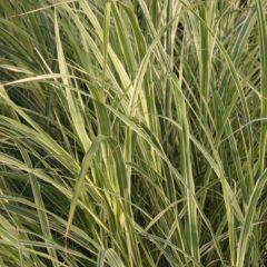 MISCANTHUS sinensis Variegatus  C1