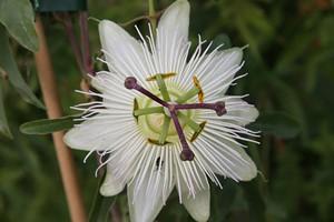 PASSIFLORA caerulea Constance Eliott  C3 100/120