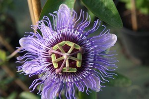 PASSIFLORA caerulea Purple Passion C4 125/150