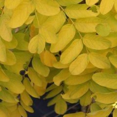ROBINIA pseudoacacia Freesia Rn Tige 10/12