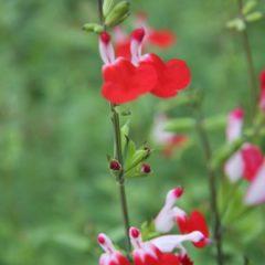 SALVIA microphylla Hot Lips C1