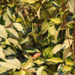 TRACHELOSPERMUM asiaticum Ogon  C4 100/120